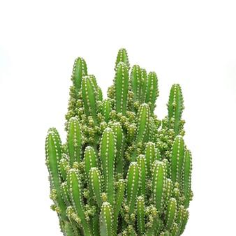 Kaktus isoliert