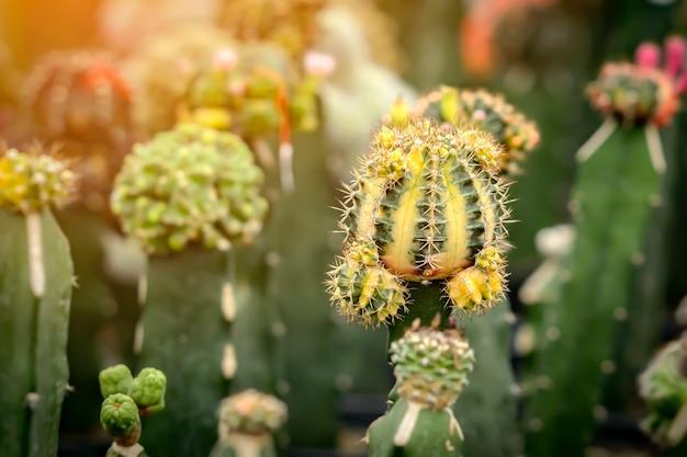 Kaktus keimte 2 monate und begann dornen und schöne farben zu haben
