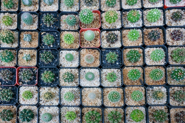 Kaktus klein es gibt viele sorten in einem topf. in vielen kleinen töpfen draufsicht platziert