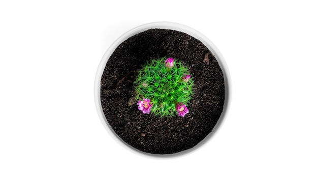 Kaktus mit blumen im weißen topf lokalisiert auf einem weißen hintergrund. blühender kaktus. hochwertiges foto