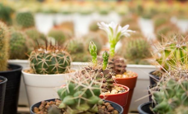 Kaktus mit blumenkaktus in einem topf.
