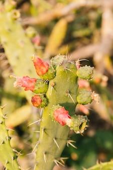 Kaktus mit dornen und roten blumen