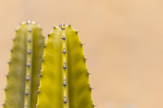 Kaktus mit scharfen dornen