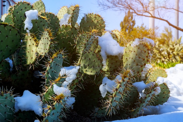Kaktus mit schnee bedeckt