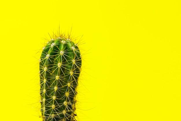 Kaktus nahaufnahme. zimmerpflanzen mit dornen. ein sukkulenter.