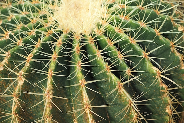 Kaktus natur textur hintergrund. kaktusstacheln hautnah. selektiver fokus