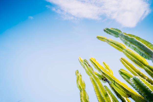 Kaktus-saguaro, der im frühjahr von blue sky blüht.