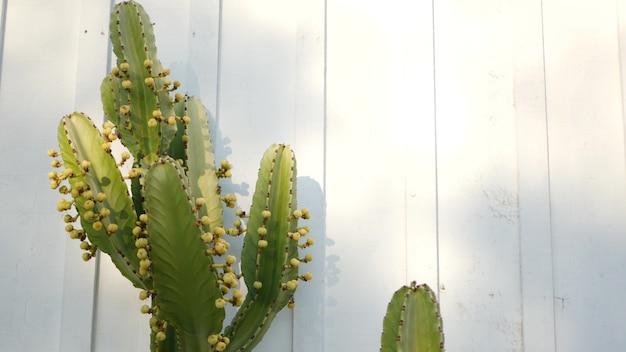 Kaktus sukkulente, kalifornien usa. wüstenflora, natürliche blume des trockenen klimas, botanischer nahaufnahmehintergrund. grüne dekorative ungewöhnliche zimmerpflanze. gartenarbeit in amerika, wächst mit aloe und agave.
