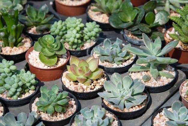 Kaktus-sukkulentenplantage im kindergarten, kleiner kaktus in container zu verkaufen