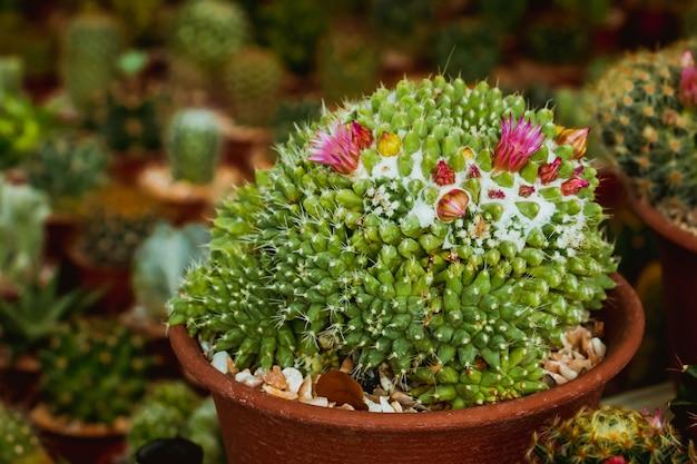 Kaktus und seine rosafarbene blume im garten.