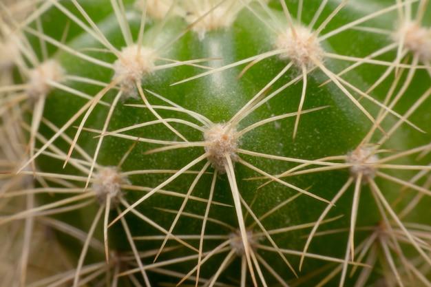 Kaktusdornen. makrokaktusdornen. nahansicht
