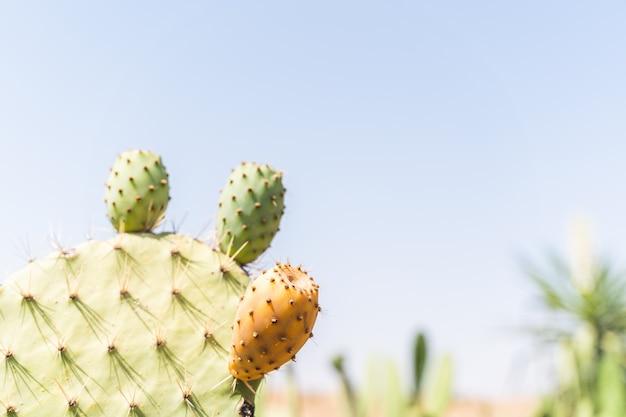 Kaktusfeige-kaktus mit frucht am marokko-nachtisch.
