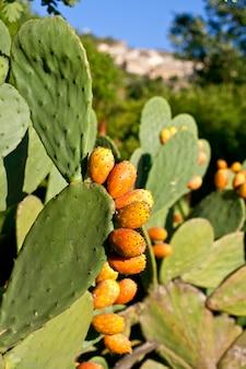 Kaktusfeigen