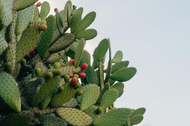 Kaktusfeigenpflanze mit früchten.