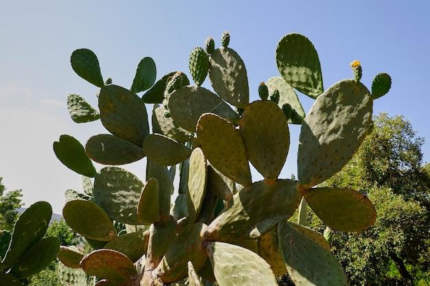 Kaktusfeigenpflanze mit ihren fleischigen blättern voller dornen in einem öffentlichen park, opuntia lindheimeri