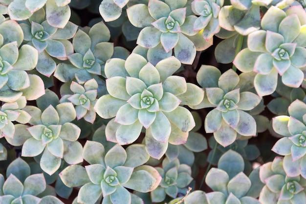 Kaktusnaturhintergrund, saftige textur.
