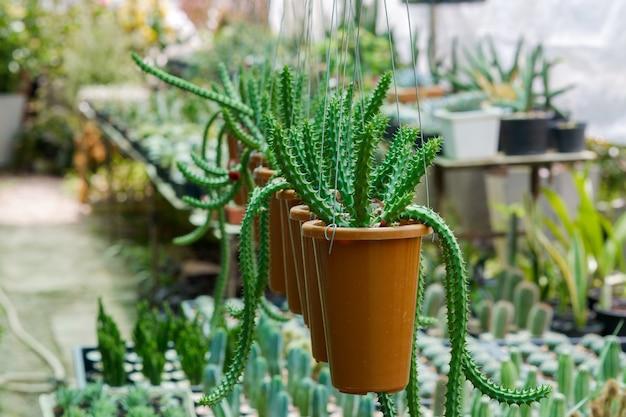 Kaktuspflanzen in schön arrangierten hängetöpfen im garten