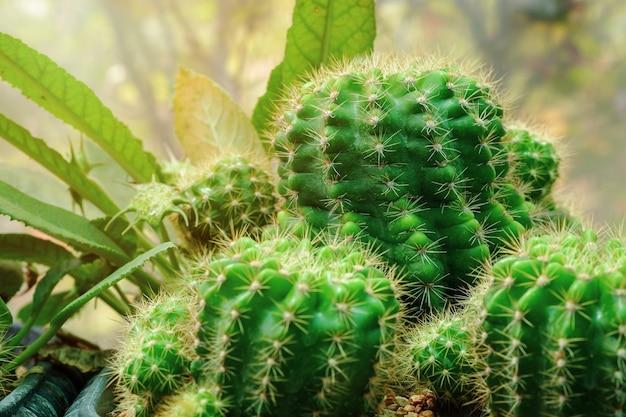 Kaktuspflanzen nahaufnahme, frisches grün