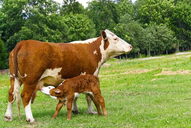 Kalb trinkt milch von der mutter. kuh mit neugeborenem kalb auf grünem gras der wiese.