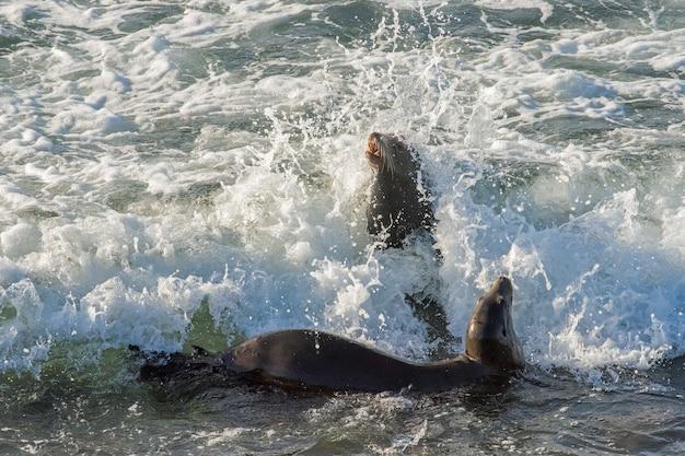 Kalifornische seelöwen, die beim spielen in der brandung in eingehenden wellen gefangen wurden