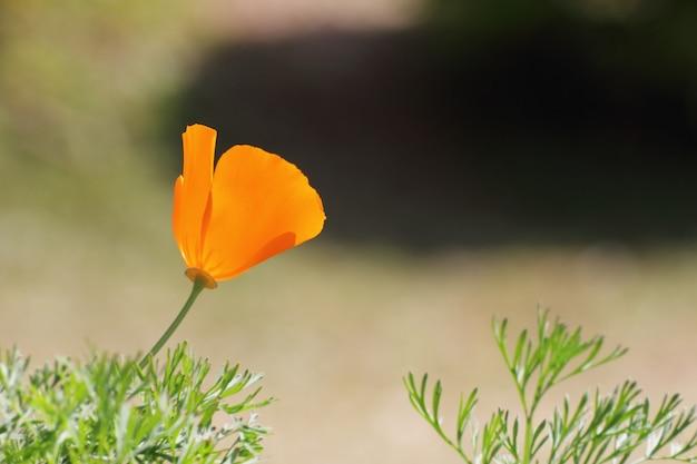Kalifornischer mohn (eschcsholzia californica cham).