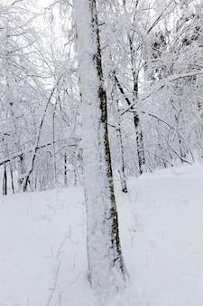 Kalte und schneereiche winter, bäume wachsen im park oder im wald in weißem schnee nach einem schneefall, im winter vollständig mit schnee bedeckt laubbäume