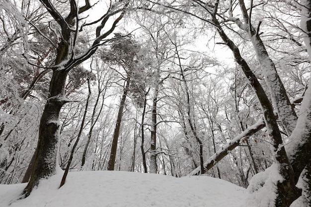 Kalte und schneereiche winter, im winter vollständig mit schnee bedeckt laubbäume, bäume wachsen im park oder im wald im weißen schnee nach einem schneefall