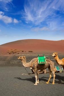 Kamel auf lanzarote in den timanfaya feuerbergen