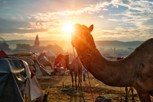 Kamel bei pushkar mela kamelmesse bei sonnenuntergang. pushkar, rajasthan, indien