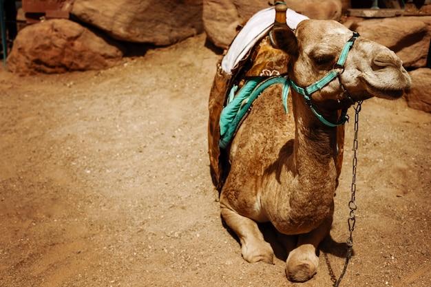 Kamel, das auf einem wüstenland sitzt