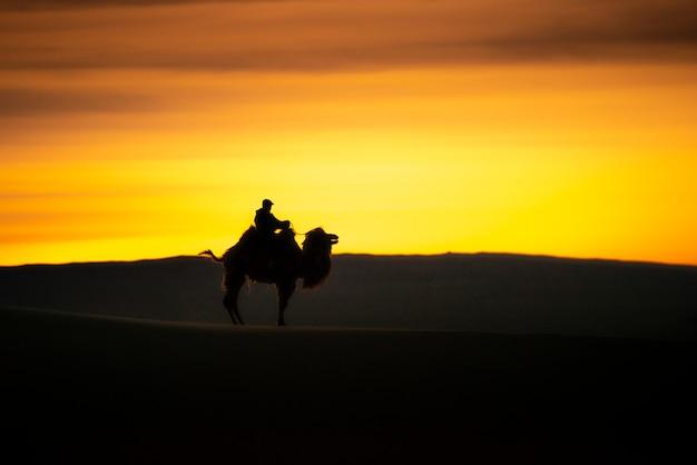 Kamel, das die sanddünen auf sonnenaufgang, gobi-wüste mongolei durchläuft.