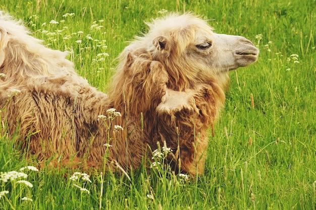 Kamel, das lebensmittel mit dem offenen mund liegt auf grünem gras kaut