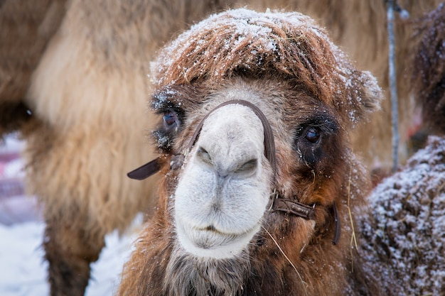 Kamel im schnee im geschirr. nahaufnahmefoto des kamelgesichtes