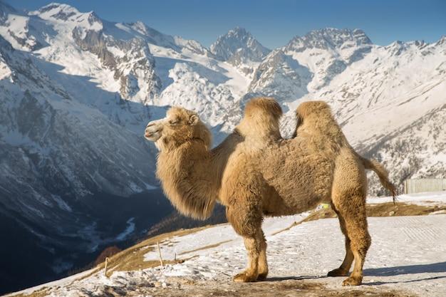 Kamel in den bergen