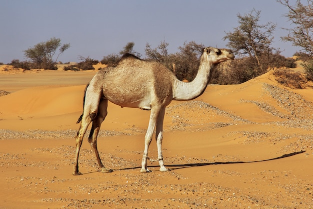 Kamel in der sahara-wüste im sudan, afrika