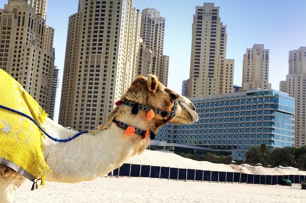 Kamel in der stadt