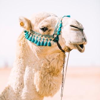 Kamel in der wüstenlandschaft in marokko