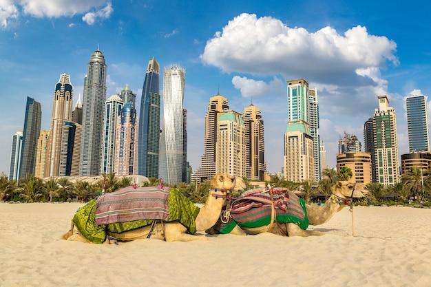 Kamel in dubai marina, vereinigte arabische emirate
