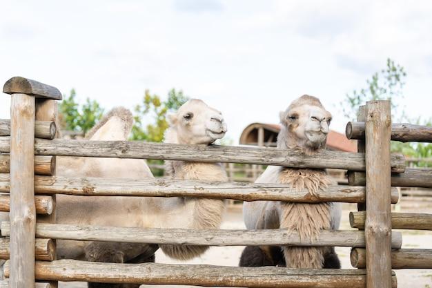Kamel in einer voliere im zoo