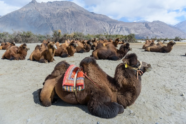 Kamel in hunder sanddünen bei tageslicht