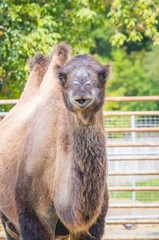 Kamel mit zwei höckern im zoo bei sonnigem wetter._