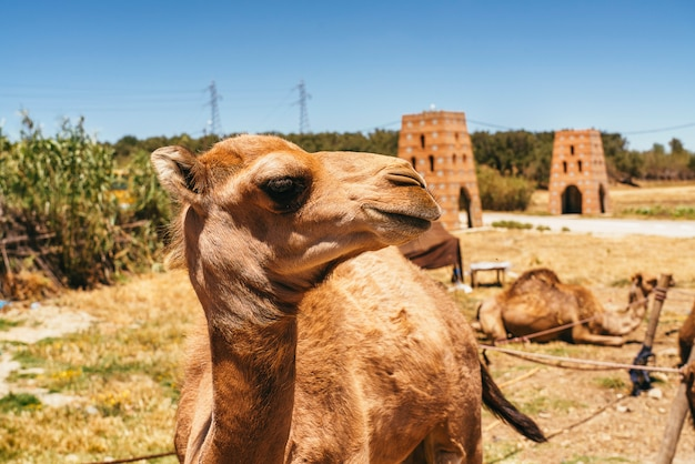 Kamel und dromedar in marokko