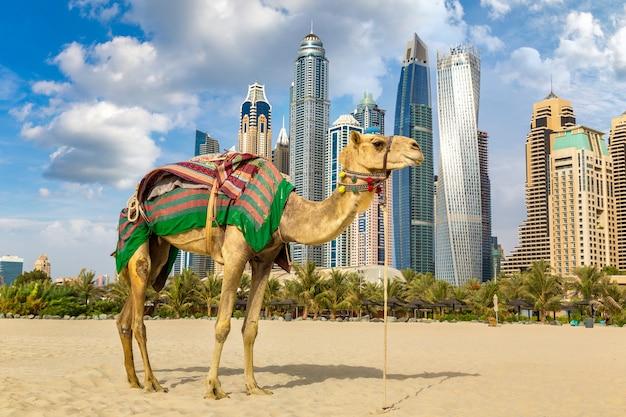 Kamel vor dubai marina