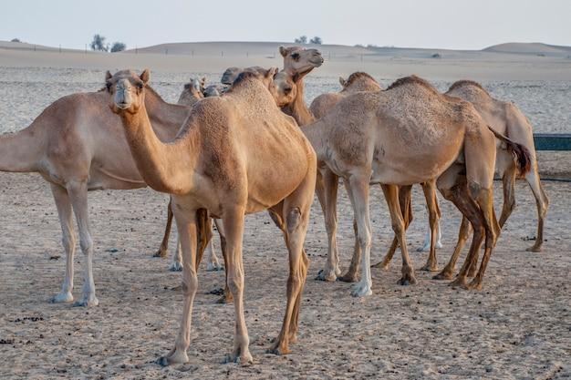 Kamelattraktion für touristen in der wüste in den vae