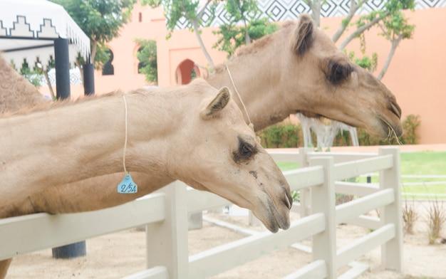 Kamelbauernhof in der dubai-wüste, uae