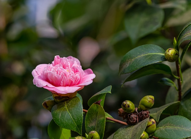 Kamelienblume mit morgenlicht