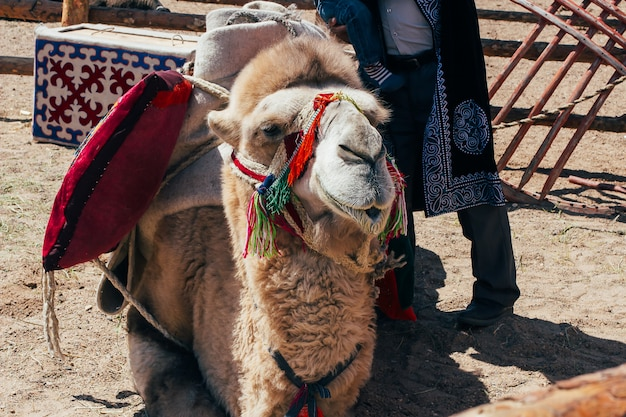 Kamelmaulkorb. porträt eines kamels hautnah.