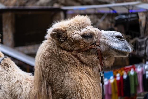 Kamelporträt auf der straße