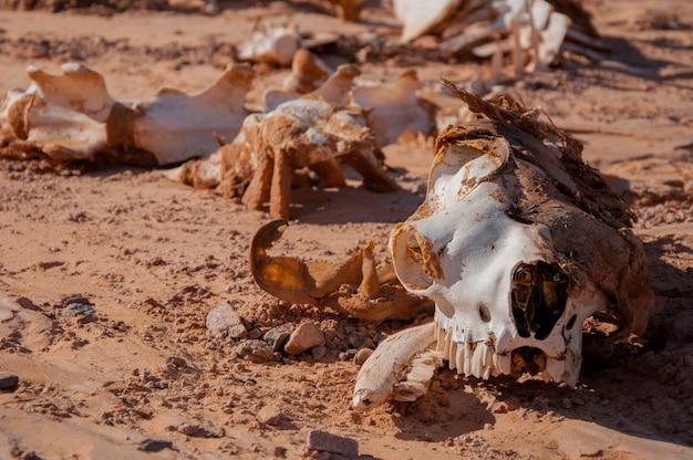 Kamelskelett, das auf dem sand in der wüste liegt