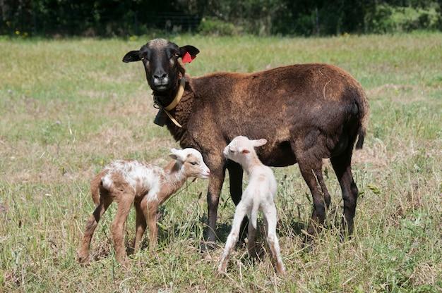 Kamerun sheep ewe mit ihrem tarasconnais cross kamerun twin lämmer